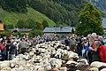 Almabtrieb der Schafe 2014 in Schoppernau 09.JPG