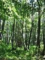 Alnus-glutinosa-Schwarzerlenbruch-Brodaer-Holz-11-VI-07-165.jpg