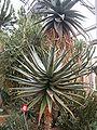 Aloe ferox BotGardBln271207A.jpg