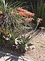 Aloe saponaria HRM2.JPG