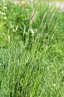Slender Meadow Foxtail (Alopecurus myosuroides)