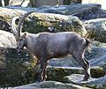 Alpensteinbock Capra ibex ibex Tierpark Hellabrunn-8.jpg