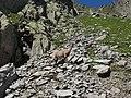 Alpine Ibex (Bouquetin) @ Path from L'Index to Col de la Gliere @ Hike to Lacs des Chéserys, Lac Blanc, Lac Cornu & Lacs Noirs @ Chamonix (15361202192).jpg