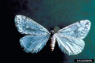 Alsophila pometaria - Image: Alsophila pometaria 2252047