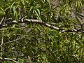 Alstonia venenata (8293430313).jpg