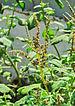 Amaranthus viridis 22052014.jpg