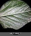 Amaranthus viridis sl27.jpg