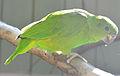 Amazona agilis -Vienna Zoo, Schonbrunn Palace, Vienna, Austria-8a.jpg