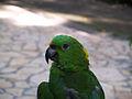 Amazona auropalliata -Macaw Mountain Bird Park -upper body-8a.jpg