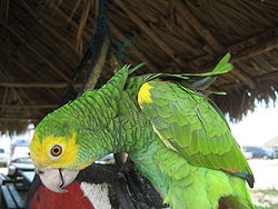 Amazona barbadensis -pet-side-4a.jpg