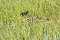 American Coot (Fulica americana) on a pond near Slough Creek (19f5bc8f-3b6b-49d3-9c6e-7cfd4a8fdb3d).jpg