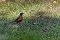 American Robin (43482877244).jpg