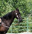 American Saddlebred1.jpg