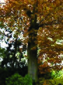Amerikaanse eik (Quercus rubra) - oktober 2010.jpg