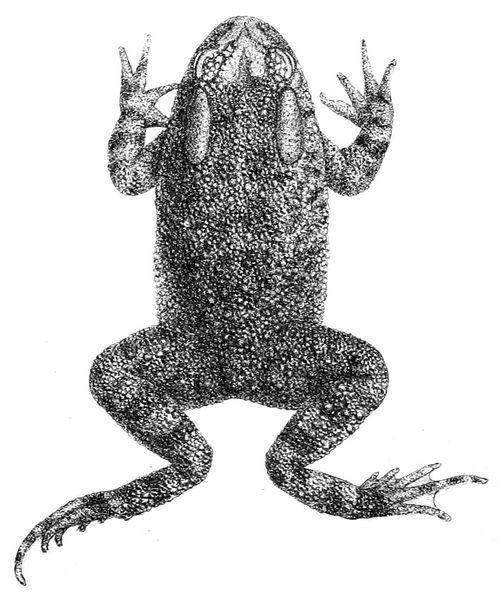 500px amietophrynus funereus