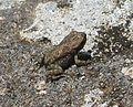 Amietophrynus gutturalis . African Common Toad. younster - Flickr - gailhampshire.jpg