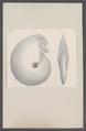 Ammonites spec. - - Print - Iconographia Zoologica - Special Collections University of Amsterdam - UBAINV0274 091 01 0024.tif