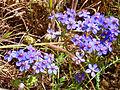 Anagallis monelli subsp. linifolia 2013-5-11 SierraMadrona.jpg