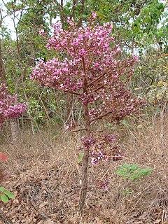 <i>Andira</i> genus of plants