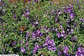 Angelonia AngelMist Basket Purple 2zz.jpg