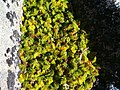 Anisotome procumbens, alpine snowpatch vegetation, Snowy South (2519837911).jpg