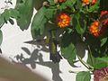 Antillean Crested Hummingbird. Orthorhyncus cristatus . Male - Flickr - gailhampshire.jpg