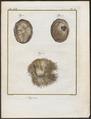 Antilope spec. - maaginhoud - 1700-1880 - Print - Iconographia Zoologica - Special Collections University of Amsterdam - UBA01 IZ21400237.tif