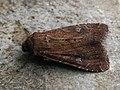 Apamea lateritia - Scarce brindle - Полевая совка красно-бурая (42080170700).jpg