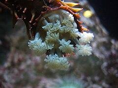 Apostichopus californicus.004 - Aquarium Finisterrae