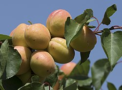 Apricot fruits on tree, Niğde 2017-08-05 01-1.jpg