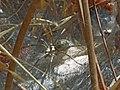 Araña - Agelenidae (7762278588).jpg
