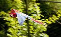 Ara chloropterus -Zoo de Pont-Scorff, Morbihan, France-8a (3).jpg