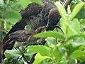 Aracuã alimentando filhote.jpg
