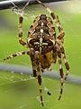 Araneus diadematus - Kreuzspinne von oben.jpg