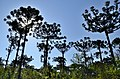 Araucaria Angustifolia - panoramio.jpg