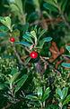 Arctostaphylos uva-ursi 3-eheep (5097484455).jpg