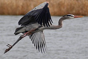 Montezuma National Wildlife Refuge - A great blue heron at Montezuma National Wildlife Refuge.