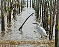 Ardea intermedia, Cagar Alam Pulau Dua, Banten, 23042017.jpg