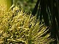 Areca catechu (3441538833).jpg