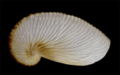 Argonauta nouryi eggcase.png