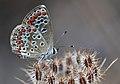 Aricia agestis - Brown Argus - Çokgözlü Esmer.jpg