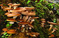 Armillaria mellea 25088.jpg