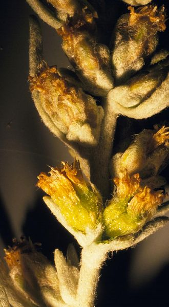 Artemisia cana - Flower spike.