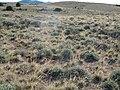 Artemisia tridentata wyomingensis (7283964872).jpg