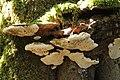 Artist's Bracket - Ganoderma applanatum (43981628762).jpg
