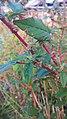 Arya - amaranthus spinosus - bayam duri Kramat 2019 1.jpg