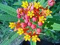 Asclepias curassavica Flowers2.jpg
