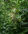 Asclepias exaltata (4804165729).jpg