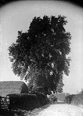 Ash tree, Llanfyllin