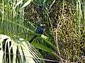Asian Koel - Eudynamys scolopaceus - P1090238.jpg